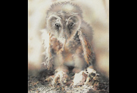 Paul Christiaan Bos: Barnowl chick fallen from nest, charcoal