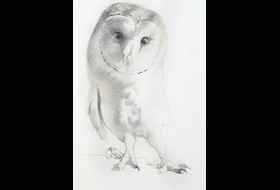 Paul Christiaan Bos: study young barnowl Tinkerbell